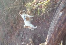 Inzercia psov: krytie Jack Russel Terier
