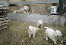 Inzercia psov: Predam