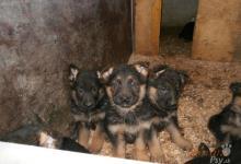 Inzercia psov: Nemecký ovčiak
