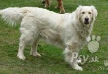 Inzercia psov: hladam psa na krytie ZLATY RETRIVIER