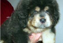 Inzercia psov: Tibetska doga-steniatka