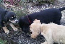 Inzercia psov: ponúkam krížence labradora