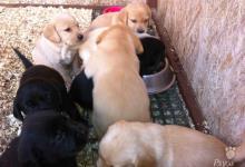Inzercia psov: Predám šteniatka labradorského rertrívera
