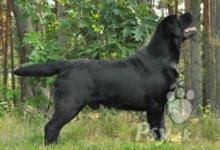 Inzercia psov: Labrador štěňata černá a žlutá, TOP kvalita