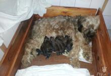 Inzercia psov: Briard plavé šteniatka