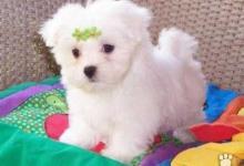 Inzercia psov: Kto daruje za odvoz mini-maltezáka,bišonka