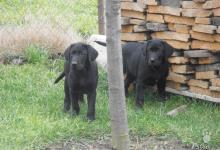 Inzercia psov: Darujem šteniatka Labradora