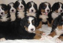 Inzercia psov: Štěňátka s PP plemene bernský salašnický pes