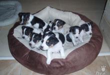 Inzercia psov: Predaj steniatok JRT