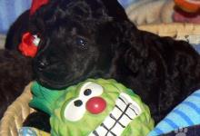 Inzercia psov: Pudel trpasličí hnedý a čierny, šteniatka.