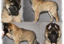 Inzercia psov: BELGICKÝ OVČÁK TERVUEREN - štěňátka s PP