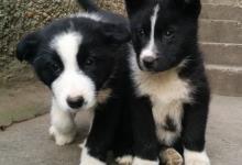 Inzercia psov: Predám šteniatka Kareského medvedieho psa
