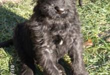 Inzercia psov: Bradáč veľký čierny
