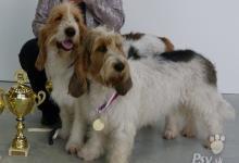 Inzercia psov: VELKÝ HRUBOSRSTÝ VENDEÉSKÝ BAS- krásná štěňata