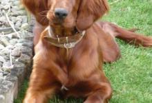 Inzercia psov: Zadáme štěňata irského setra