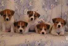 Inzercia psov: Jack Russell teriér - krásná štěňátka s PP
