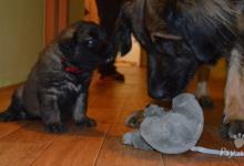 Inzercia psov: Leonberger šteniatka s PP