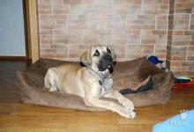 Inzercia psov: Boerboel Ballotada - fenka 4,5 měsíce