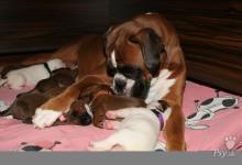 Inzercia psov: Predám šteniatka boxera s PP po výborných rodičoch