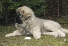 Inzercia psov: štěňátko kavkazského pasteveckého psa s PP FCI