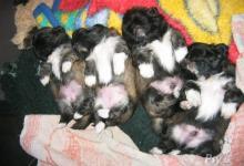 Inzercia psov: Štěňátka pekingských palácových psíků