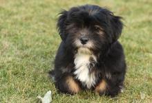 Inzercia psov: Krásne šteniatka Lhasa apso