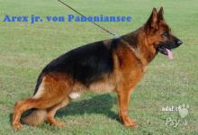 Inzercia psov: Nemecký ovčiak šteniatko s pp exteriér