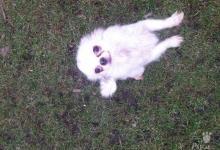 Inzercia psov: čivava dlhosrsta