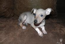 Inzercia psov: Posledné 3 šteniatka Amerického Bezsrstého Teriéra