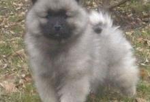 Inzercia psov: Německý špic vlčí / keeshond prodám štěňata s PP