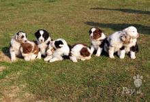 Inzercia psov: Austrálsky ovčiak - šteniatka