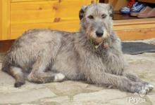 Inzercia psov: Štěňátka irských vlkodavů s PP (FCI) k prodeji