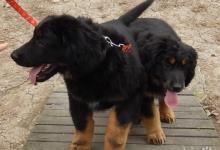 Inzercia psov: HOVAWART - psík s pp