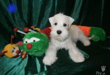 Inzercia psov: Malý bielý bradáč s pp - top štěňata