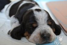 Inzercia psov: Štěňata Modrého gaskoňského basseta