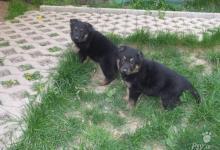 Inzercia psov: Nemecký ovčiak - predám šteniatka