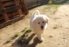 Inzercia psov: Predám šteniatka SLOVENSKÉHO ČUVAČA
