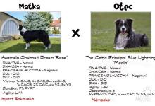 Inzercia psov: Záznamy na štěňata border kolie