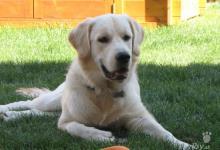 Inzercia psov: Predám psíka