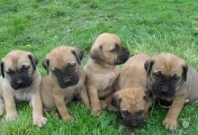 Inzercia psov: Bulmastif (Bullmastiff ) – predám šteniatka