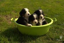 Inzercia psov: Prodáme štěňátka Bernský salašnický pes s PP