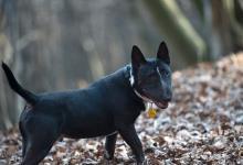 Inzercia psov: Predam minibulteriéra
