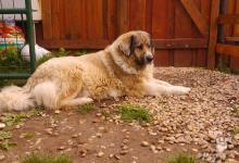 Inzercia psov: čistokrvné šteniatka Kaukazáka