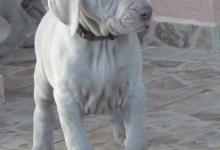 Inzercia psov: weimarský stavač - šteniatka
