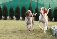 Inzercia psov: Talianský stavač šteniatka