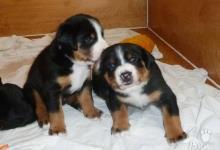 Inzercia psov: Appenzellský salašnický pes s PP (FCI)
