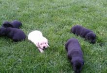 Inzercia psov: Predam steniatko labradora