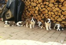 Inzercia psov: Šteniatka Bernardína