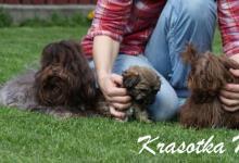 Inzercia psov: Bolonka Zwetna, Ruská barevná bolonka