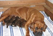 Inzercia psov: Tosa inu štěňata s PP